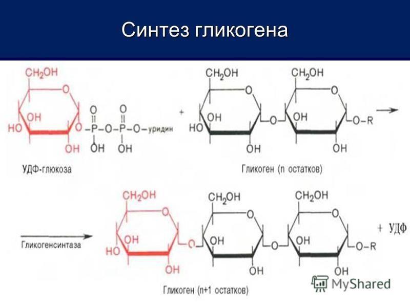 Синтез гликогена