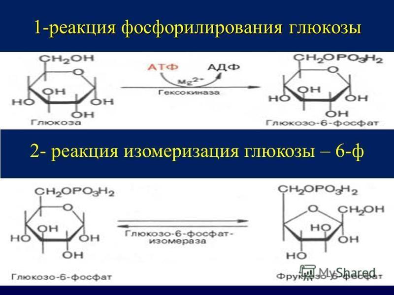 1-реакция фосфорилирования глюкозы 2- реакция изомеризация глюкозы – 6-ф