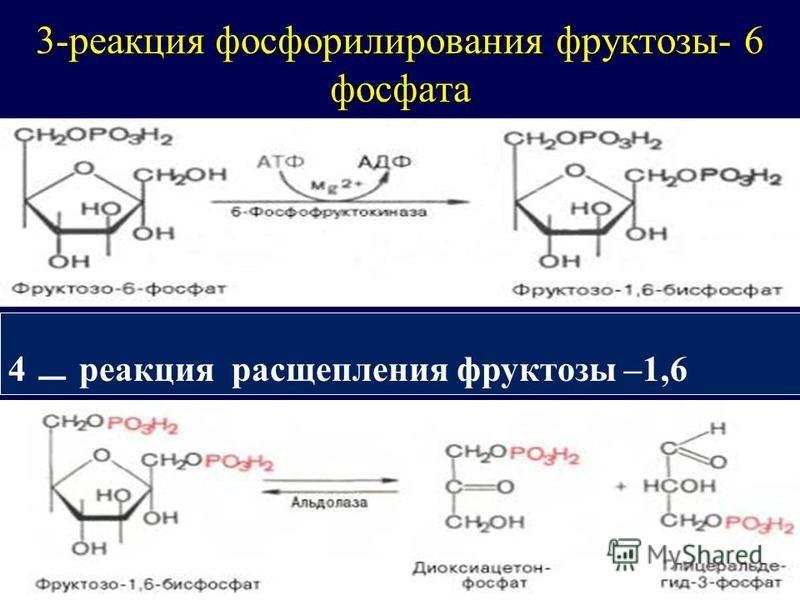 3-реакция фосфорилирования фруктозы- 6 фосфата 4 _ реакция расщепления фруктозы –1,6 дифосфата