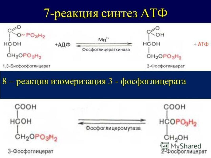 7-реакция синтез АТФ 8 – реакция изомеризация 3 - фосфоглицерата