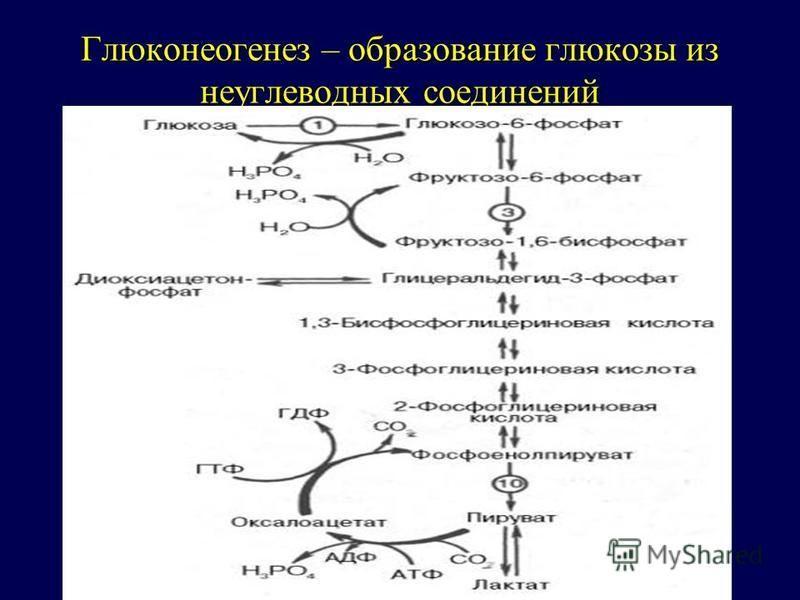 Глюконеогенез – образование глюкозы из неуглеводных соединений