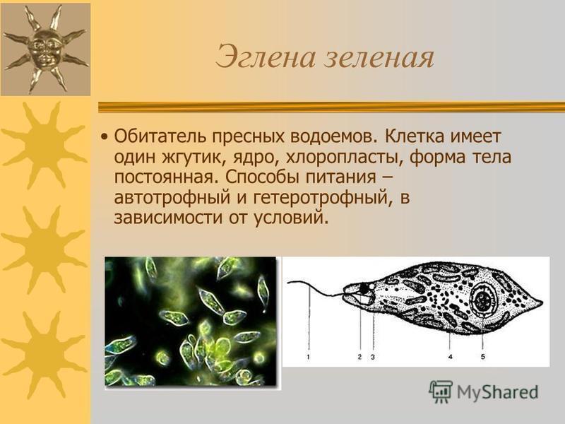 Эглена зеленая Обитатель пресных водоемов. Клетка имеет один жгутик, ядро, хлоропласты, форма тела постоянная. Способы питания – автотрофный и гетеротрофный, в зависимости от условий.