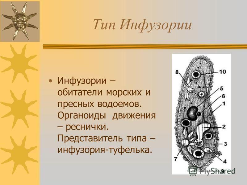 Тип Инфузории Инфузории – обитатели морских и пресных водоемов. Органоиды движения – реснички. Представитель типа – инфузория-туфелька.