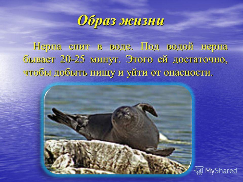 Образ жизни Нерпа спит в воде. Под водой нерпа бывает 20-25 минут. Этого ей достаточно, чтобы добыть пищу и уйти от опасности. Нерпа спит в воде. Под водой нерпа бывает 20-25 минут. Этого ей достаточно, чтобы добыть пищу и уйти от опасности.