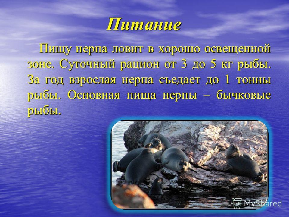 Питание Пищу нерпа ловит в хорошо освещенной зоне. Суточный рацион от 3 до 5 кг рыбы. За год взрослая нерпа съедает до 1 тонны рыбы. Основная пища нерпы – бычковые рыбы. Пищу нерпа ловит в хорошо освещенной зоне. Суточный рацион от 3 до 5 кг рыбы. За