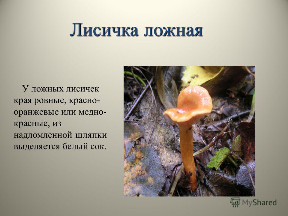 У ложных лисичек края ровные, красно- оранжевые или медно- красные, из надломленной шляпки выделяется белый сок. Лисичка ложная
