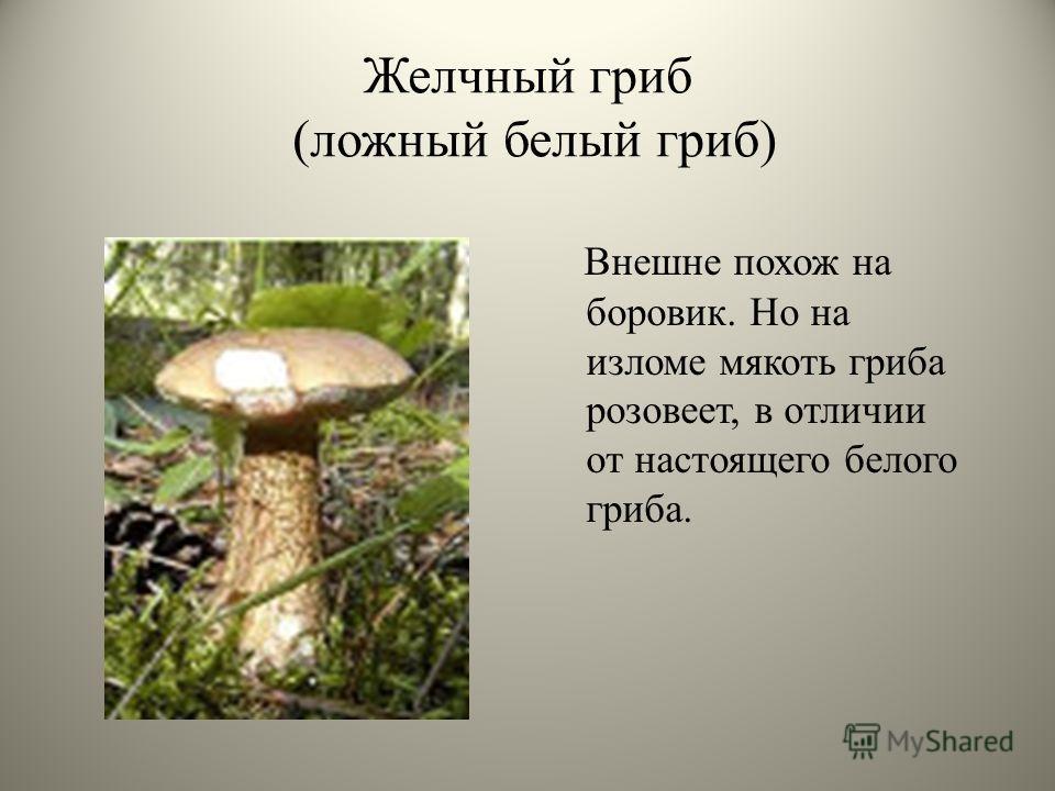 Желчный гриб (ложный белый гриб) Внешне похож на боровик. Но на изломе мякоть гриба розовеет, в отличии от настоящего белого гриба.