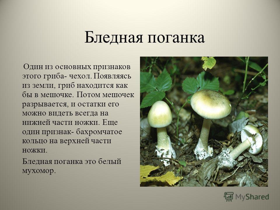 Бледная поганка Один из основных признаков этого гриба- чехол. Появляясь из земли, гриб находится как бы в мешочке. Потом мешочек разрывается, и остатки его можно видеть всегда на нижней части ножки. Еще один признак- бахромчатое кольцо на верхней ча