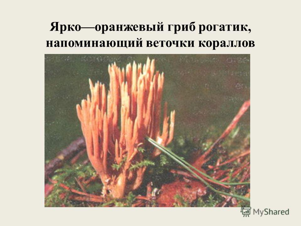Яркооранжевый гриб рогатик, напоминающий веточки кораллов