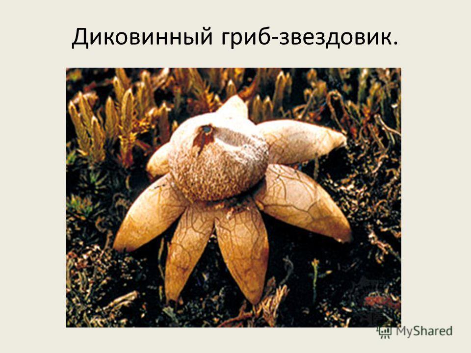 Диковинный гриб-звездовик.