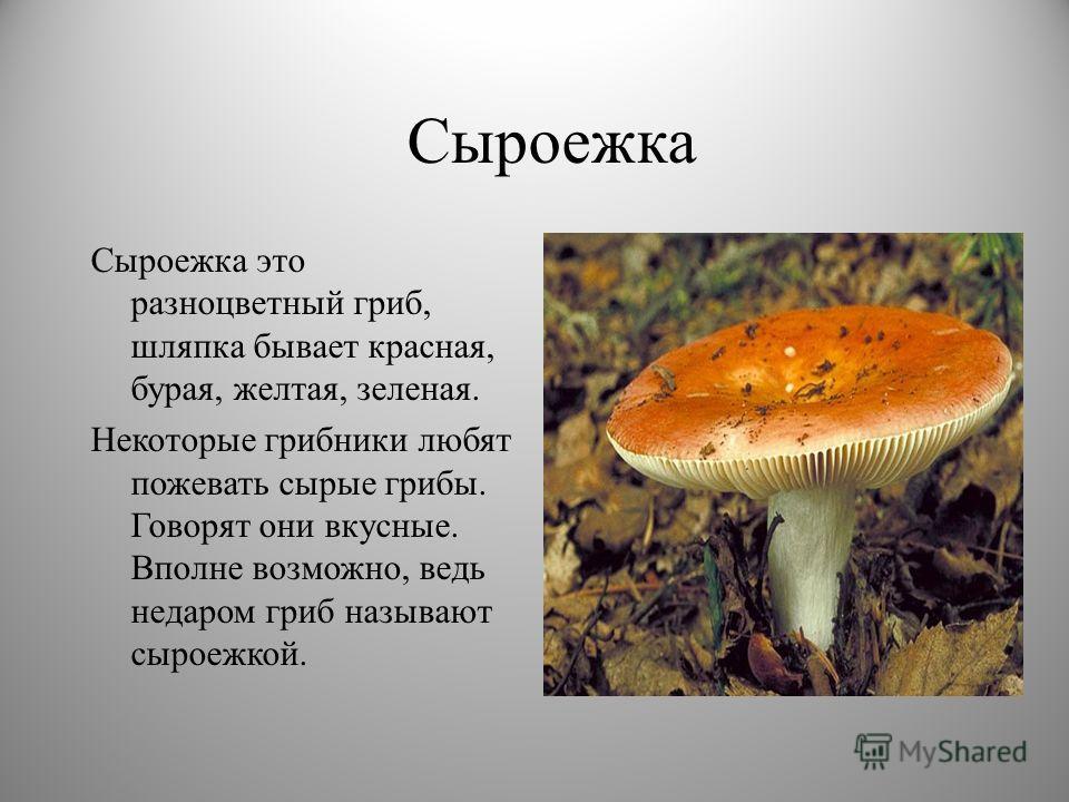 Сыроежка Сыроежка это разноцветный гриб, шляпка бывает красная, бурая, желтая, зеленая. Некоторые грибники любят пожевать сырые грибы. Говорят они вкусные. Вполне возможно, ведь недаром гриб называют сыроежкой.