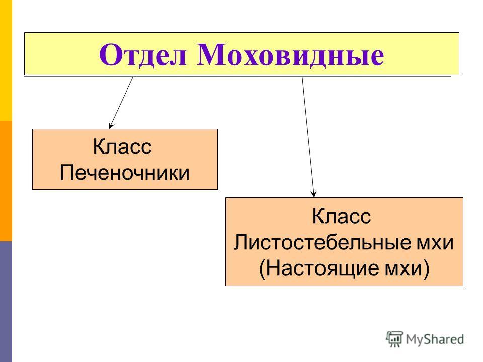 Класс Печеночники Класс Листостебельные мхи (Настоящие мхи)