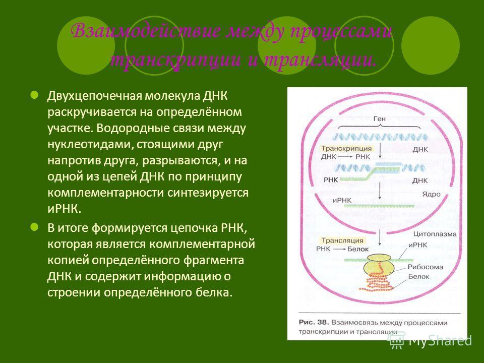 Взаимодействие между процессами транскрипции и трансляции. Двухцепочечная молекула ДНК раскручивается на определённом участке. Водородные связи между нуклеотидами, стоящими друг напротив друга, разрываются, и на одной из цепей ДНК по принципу комплем