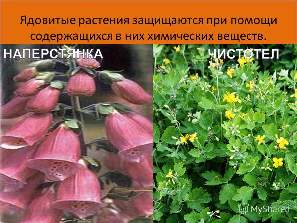 Ядовитые растения защищаются при помощи содержащихся в них химических веществ. 06.06.20146