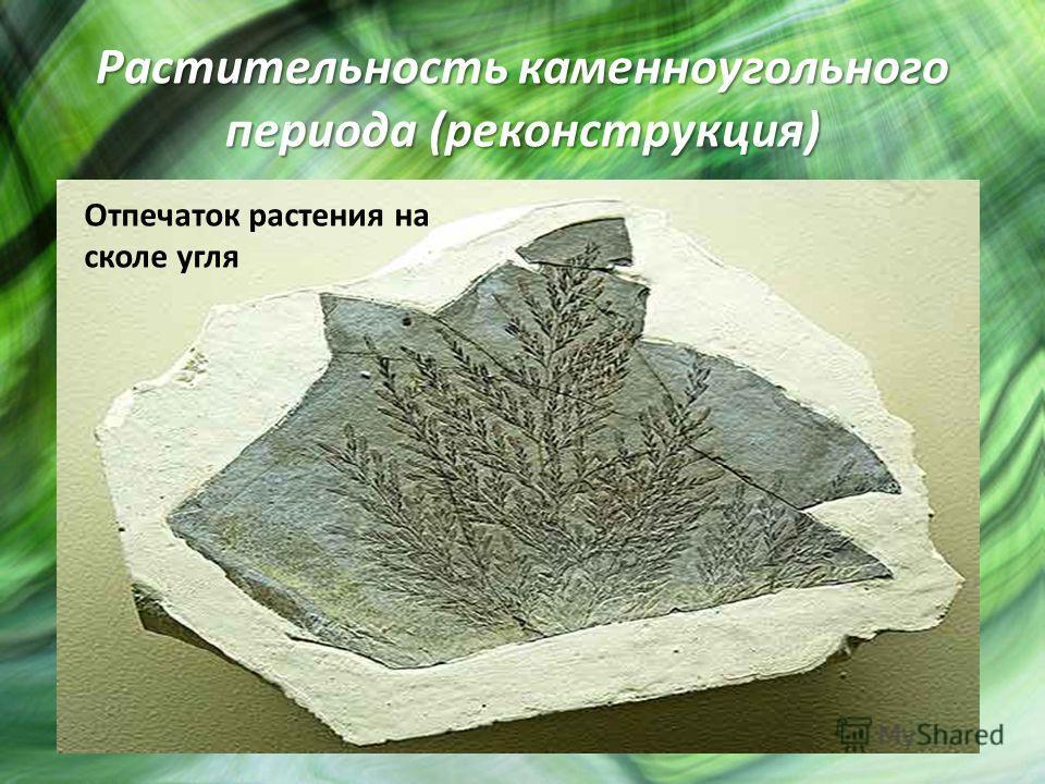 Растительность каменноугольного периода (реконструкция) Отпечаток растения на сколе угля
