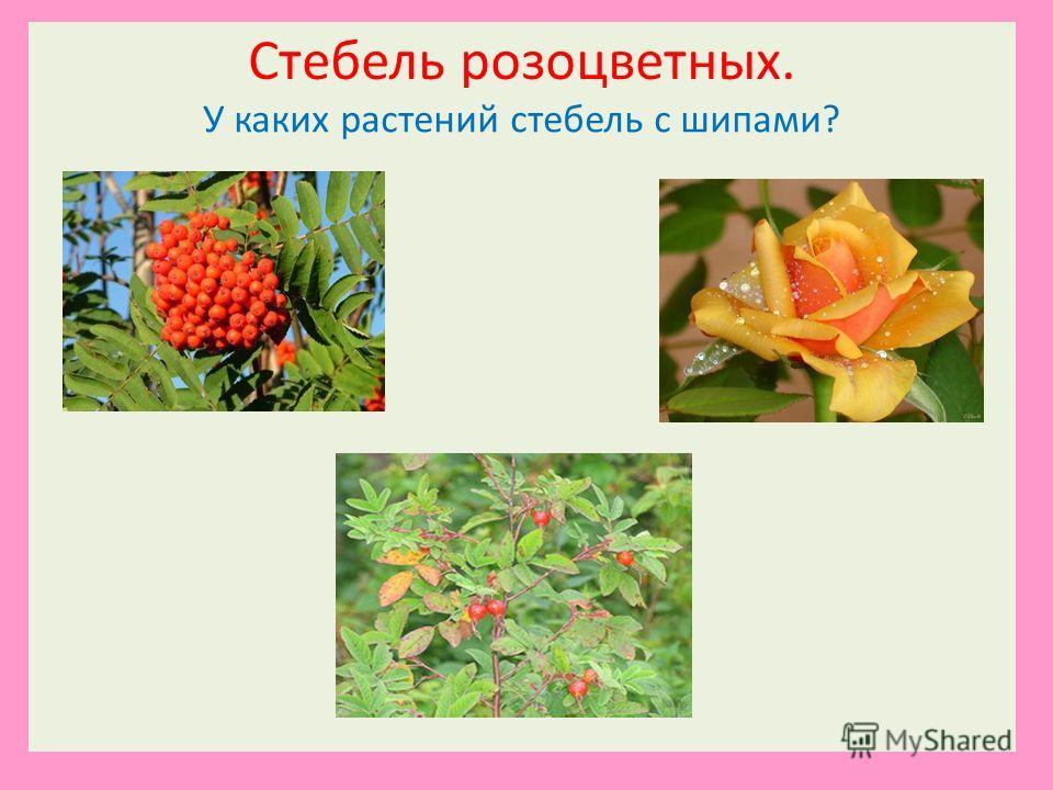 Стебель розоцветных. У каких растений стебель с шипами?