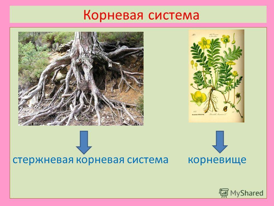 Корневая система стержневая корневая система корневище