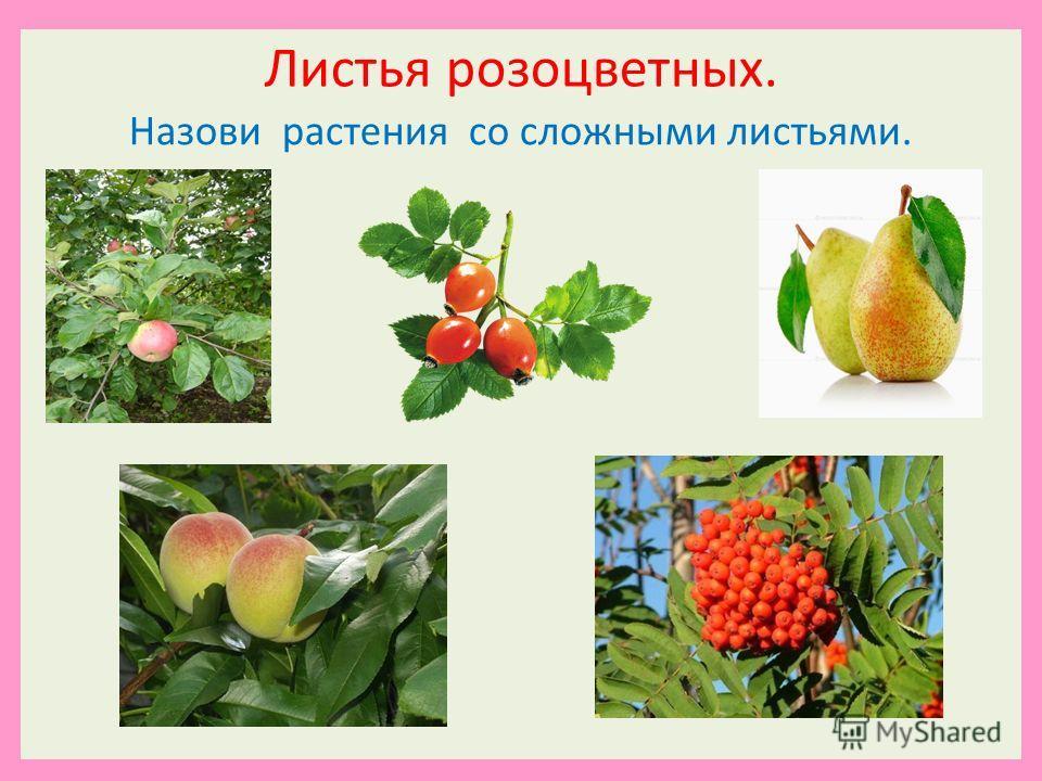Листья розоцветных. Назови растения со сложными листьями.