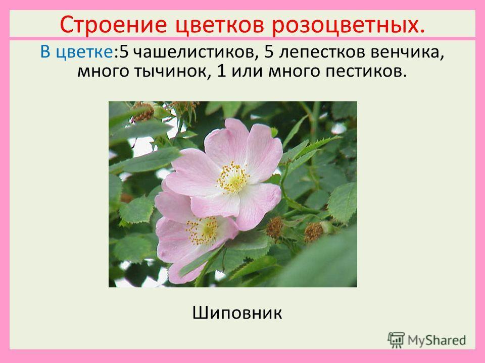 Строение цветков розоцветных. В цветке:5 чашелистиков, 5 лепестков венчика, много тычинок, 1 или много пестиков. Шиповник