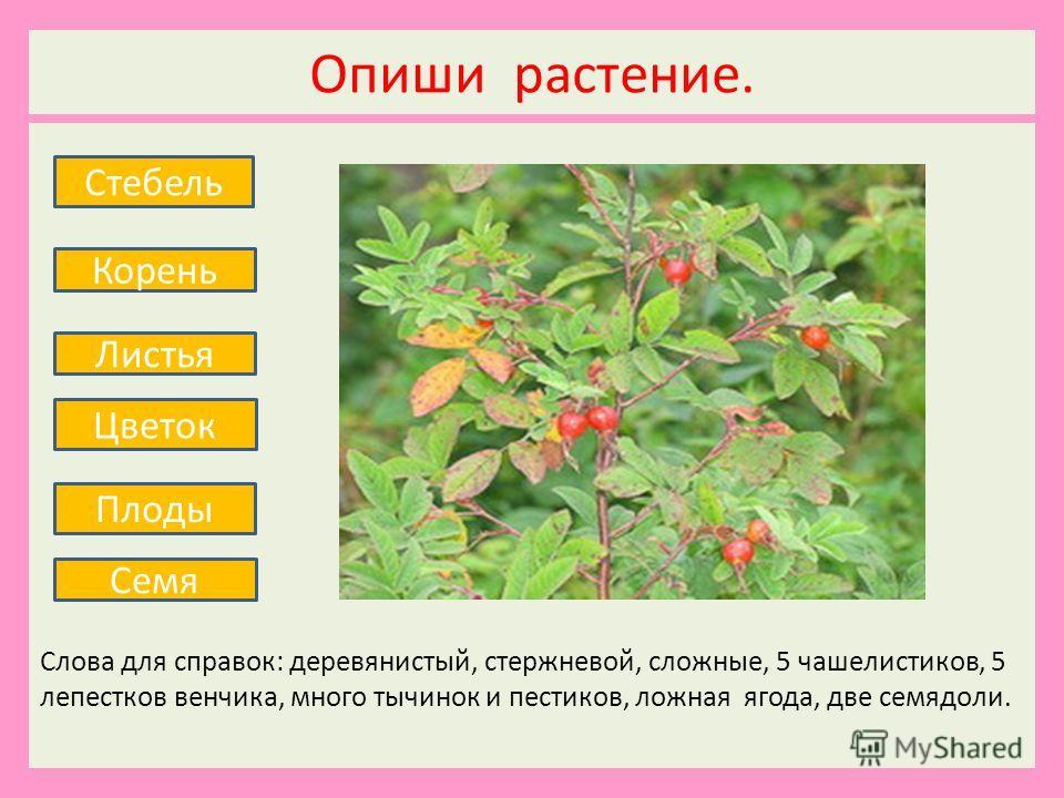 Опиши растение. Слова для справок: деревянистый, стержневой, сложные, 5 чашелистиков, 5 лепестков венчика, много тычинок и пестиков, ложная ягода, две семядоли. Стебель Корень Листья Плоды Семя Цветок