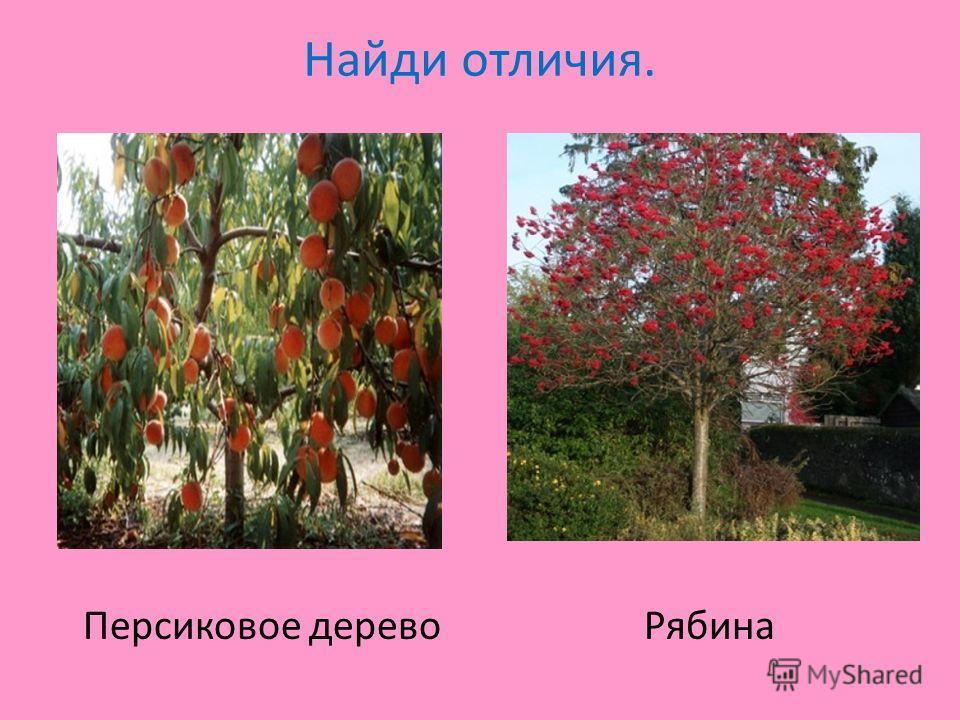 Найди отличия. Персиковое дерево Рябина