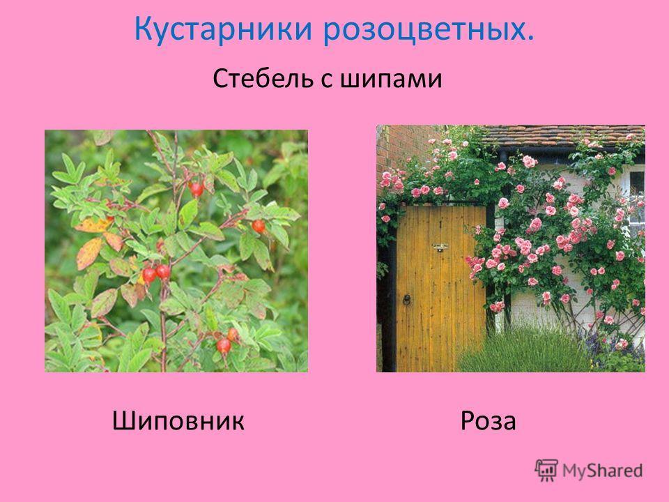 Кустарники розоцветных. Стебель с шипами Шиповник Роза