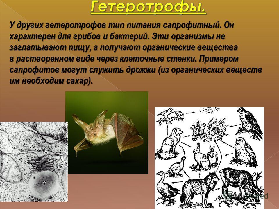 У других гетеротрофов тип питания сапрофитный. Он характерен для грибов и бактерий. Эти организмы не заглатывают пищу, а получают органические вещества в растворенном виде через клеточные стенки. Примером сапрофитов могут служить дрожжи (из органичес