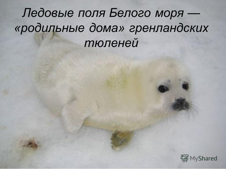 Ледовые поля Белого моря «родильные дома» гренландских тюленей