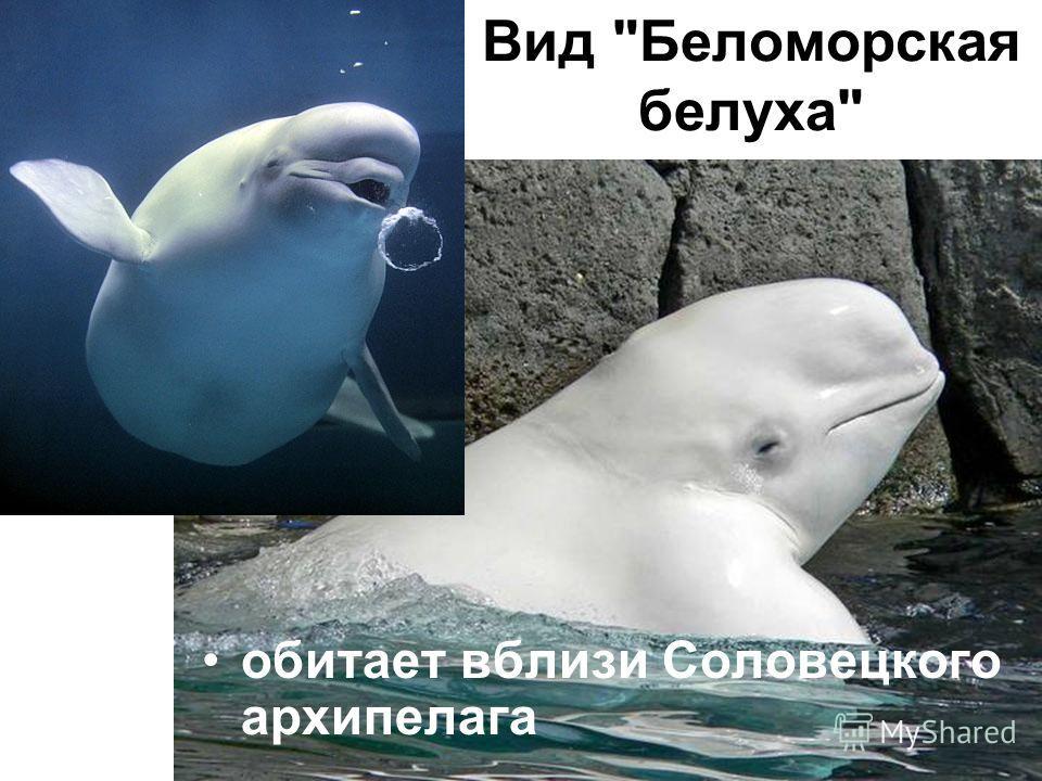 Вид Беломорская белуха обитает вблизи Соловецкого архипелага