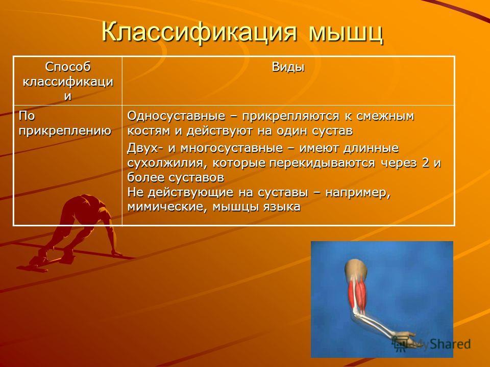 Классификация мышц Способ классификации Виды По расположению По расположениюПоверхностнаяГлубокаяМедиальнаяЛатеральная