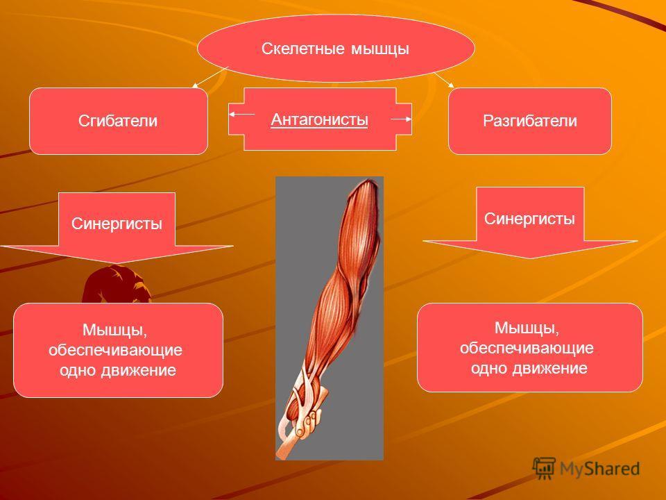 Особенности скелетных мышц: Эти мышцы всегда прикрепляются к костям. Прикрепление к костям осуществляется с помощью плотных почти нерастяжимых сухожилий, состоящих практически полностью из коллагеновых волокон. Способны сокращаться с высокой скорость