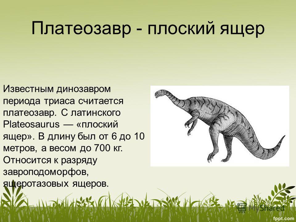 Платеозавр - плоский ящер Известным динозавром периода триаса считается платеозавр. С латинского Plateosaurus «плоский ящер». В длину был от 6 до 10 метров, а весом до 700 кг. Относится к разряду завроподоморфов, ящеротазовых ящеров.