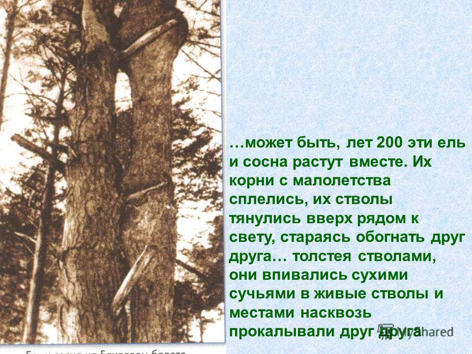 …может быть, лет 200 эти ель и сосна растут вместе. Их корни с малолетства сплелись, их стволы тянулись вверх рядом к свету, стараясь обогнать друг друга… толстея стволами, они впивались сухими сучьями в живые стволы и местами насквозь прокалывали др