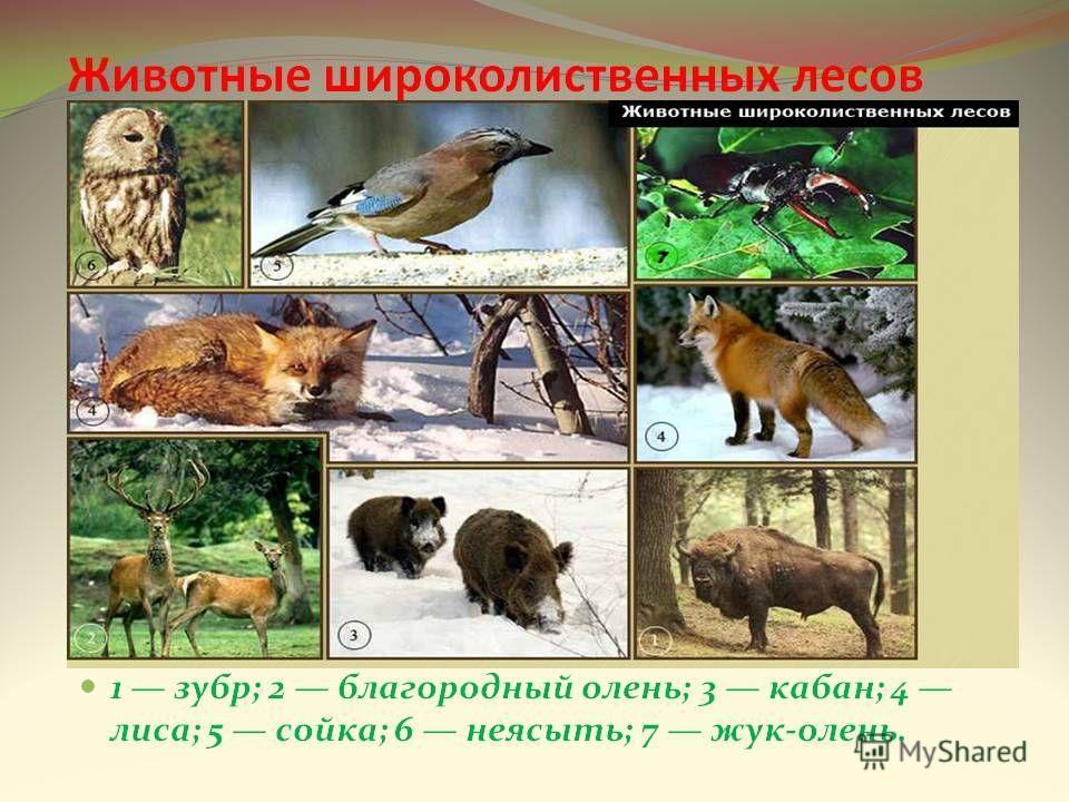 Смешанные и широколиственные леса описание природной зоны животный