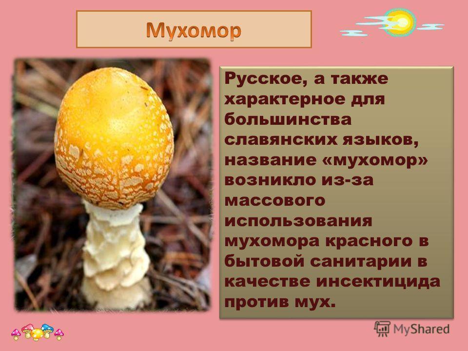 Русское, а также характерное для большинства славянских языков, название «мухомор» возникло из-за массового использования мухомора красного в бытовой санитарии в качестве инсектицида против мух. Prezented.Ru