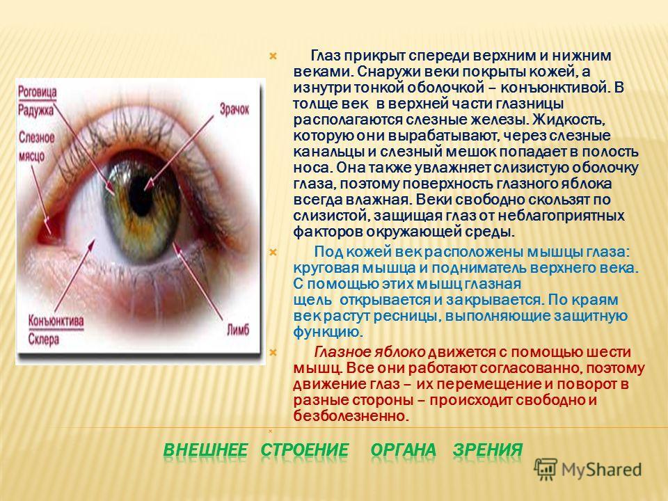 Глаз прикрыт спереди верхним и нижним веками. Снаружи веки покрыты кожей, а изнутри тонкой оболочкой – конъюнктивой. В толще век в верхней части глазницы располагаются слезные железы. Жидкость, которую они вырабатывают, через слезные канальцы и слезн