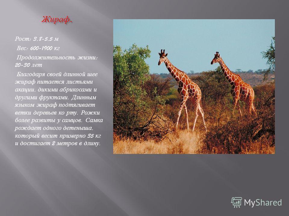 Жираф. Жираф. Рост : 3,8-5,5 м Вес : 600-1900 кг Продолжительность жизни : 20-30 лет Благодаря своей длинной шее жираф питается листьями акации, дикими абрикосами и другими фруктами. Длинным языком жираф подтягивает ветки деревьев ко рту. Рожки более