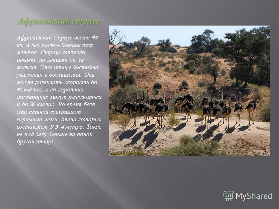 Африканский страус Африканский страус весит 90 кг. А его рост – больше двух метров. Страус отлично бегает, но летать он не может. Эта птица достойна уважения и восхищения. Они могут развивать скорость до 50 км / час, а на коротких дистанциях могут ра