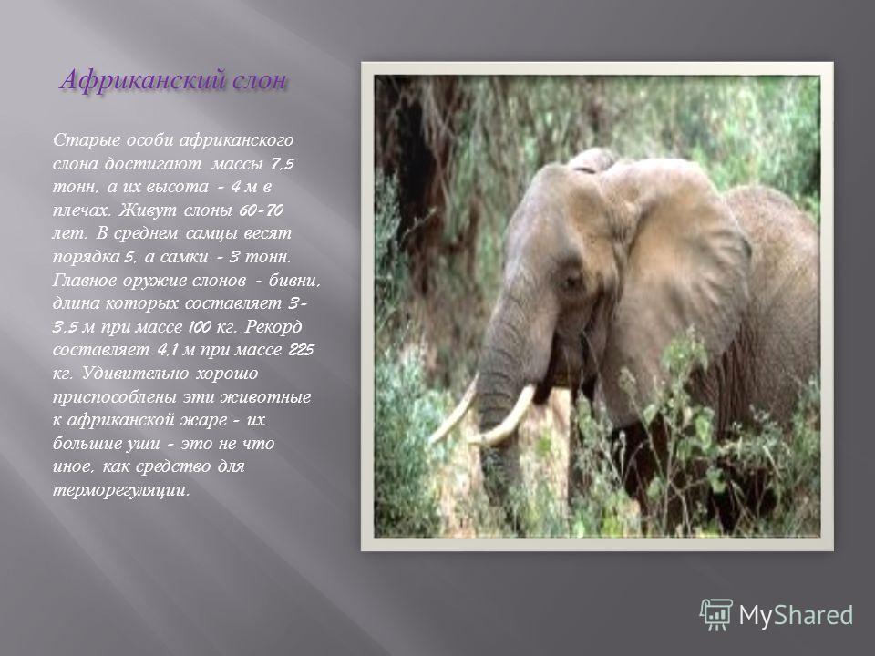 Африканский слон Африканский слон Старые особи африканского слона достигают массы 7,5 тонн, а их высота - 4 м в плечах. Живут слоны 60-70 лет. В среднем самцы весят порядка 5, а самки - 3 тонн. Главное оружие слонов - бивни, длина которых составляет