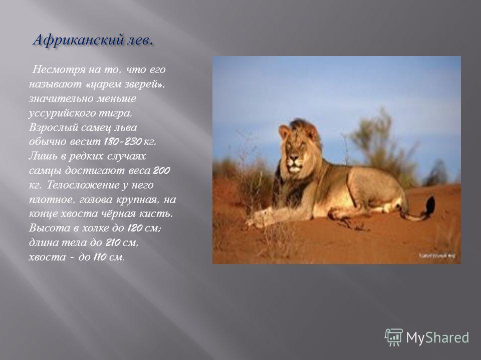 Африканский лев. Африканский лев. Несмотря на то, что его называют « царем зверей », значительно меньше уссурийского тигра. Взрослый самец льва обычно весит 180-230 кг. Лишь в редких случаях самцы достигают веса 200 кг. Телосложение у него плотное, г