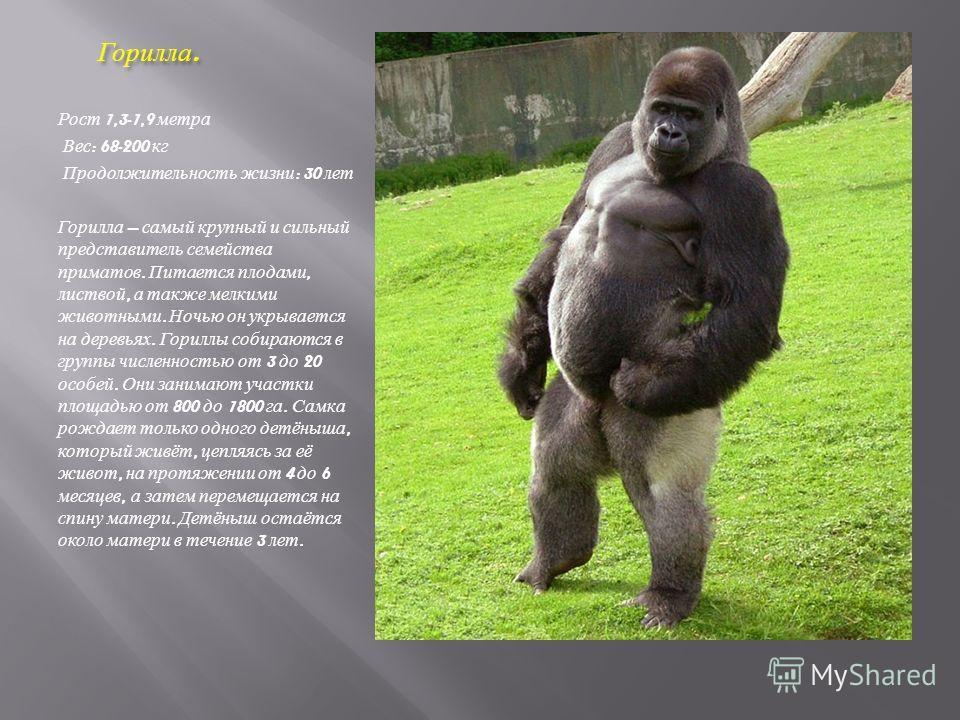 Горилла. Горилла. Рост 1,3-1,9 метра Вес : 68-200 кг Продолжительность жизни : 30 лет Горилла самый крупный и сильный представитель семейства приматов. Питается плодами, листвой, а также мелкими животными. Ночью он укрывается на деревьях. Гориллы соб