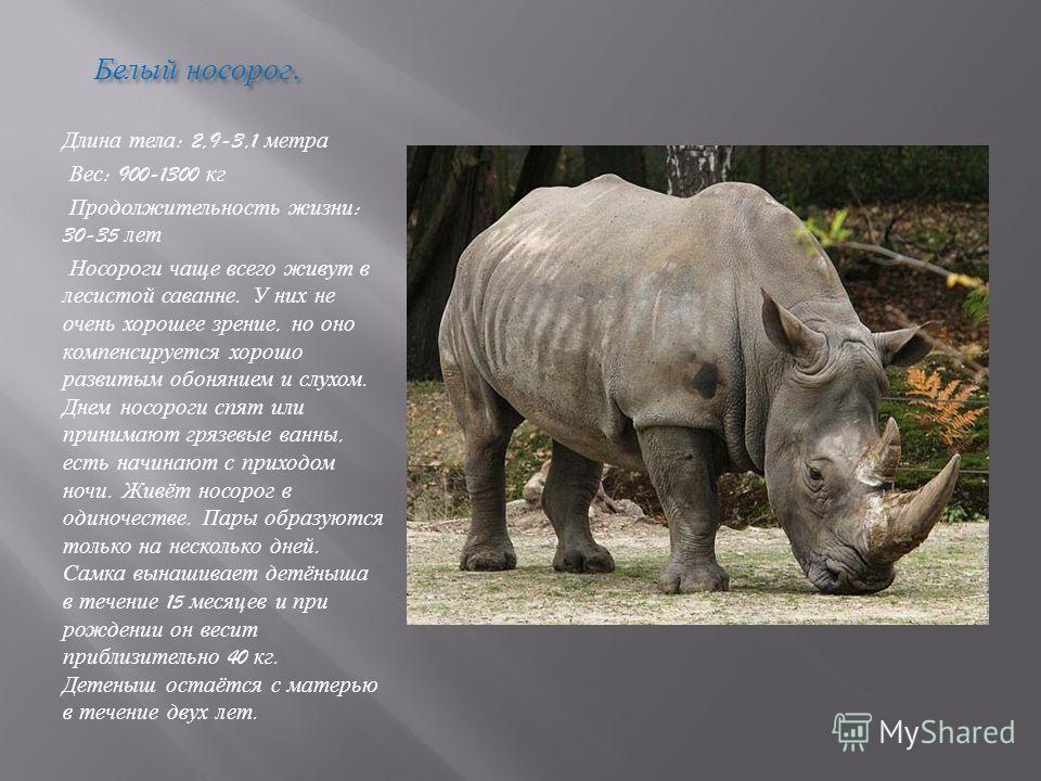 Белый носорог. Белый носорог. Длина тела : 2,9-3,1 метра Вес : 900-1300 кг Продолжительность жизни : 30-35 лет Носороги чаще всего живут в лесистой саванне. У них не очень хорошее зрение, но оно компенсируется хорошо развитым обонянием и слухом. Днем