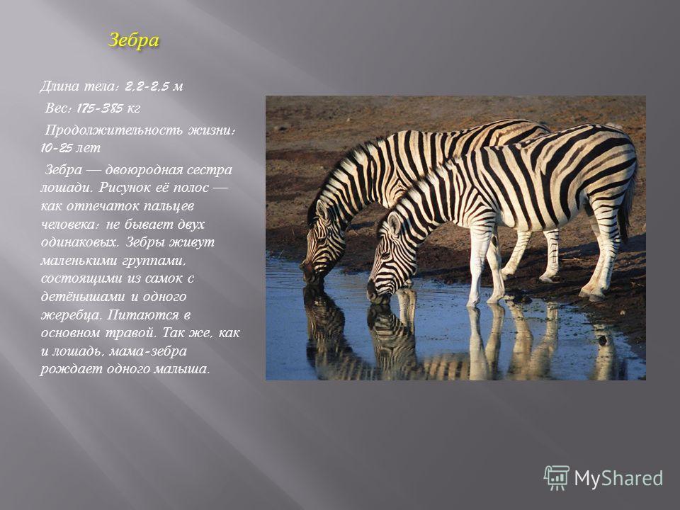 Зебра Зебра Длина тела : 2,2-2,5 м Вес : 175-385 кг Продолжительность жизни : 10-25 лет Зебра двоюродная сестра лошади. Рисунок её полос как отпечаток пальцев человека : не бывает двух одинаковых. Зебры живут маленькими группами, состоящими из самок