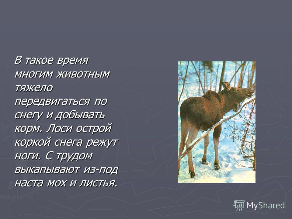 В такое время многим животным тяжело передвигаться по снегу и добывать корм. Лоси острой коркой снега режут ноги. С трудом выкапывают из-под наста мох и листья. В такое время многим животным тяжело передвигаться по снегу и добывать корм. Лоси острой