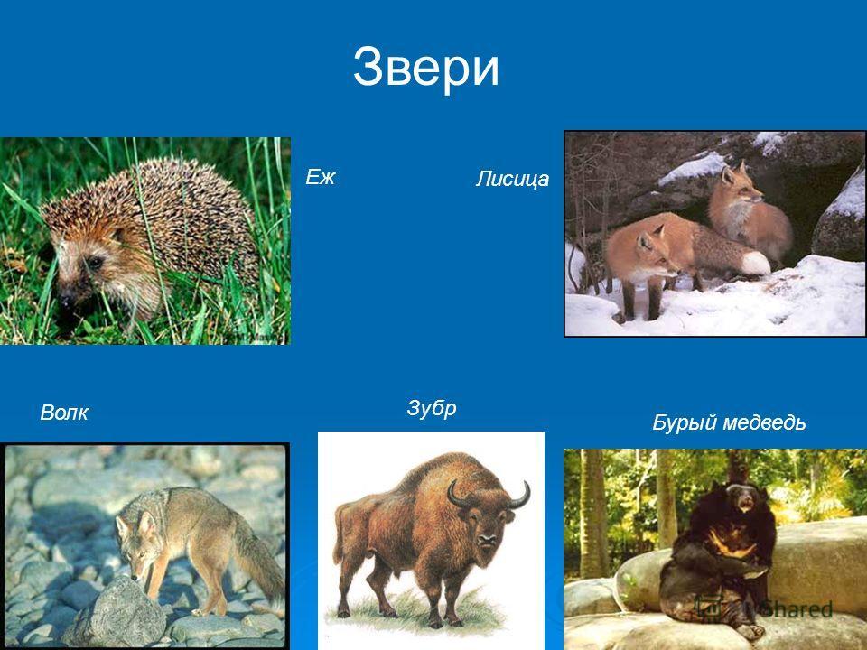 Еж Волк Лисица Бурый медведь Зубр Звери