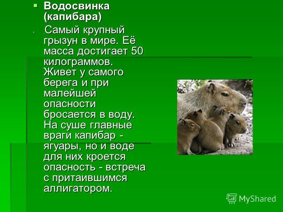 Водосвинка (капибара) Водосвинка (капибара) Самый крупный грызун в мире. Её масса достигает 50 килограммов. Живет у самого берега и при малейшей опасности бросается в воду. На суше главные враги капибар - ягуары, но и воде для них кроется опасность -