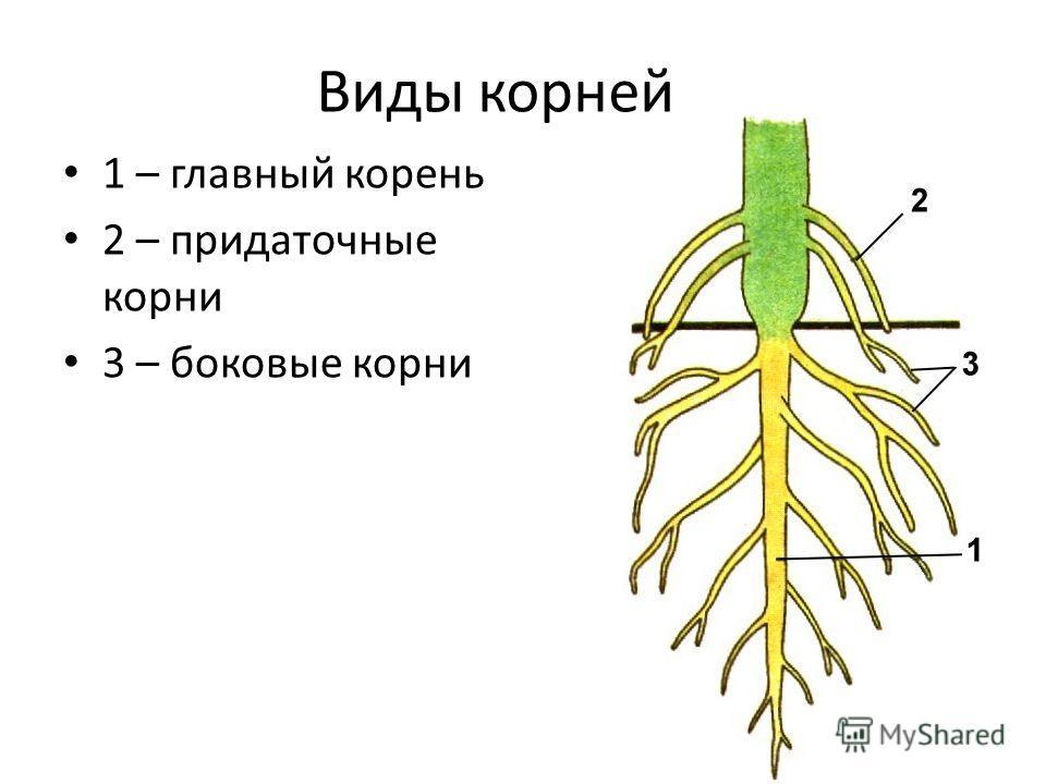 Виды корней 1 – главный корень 2 – придаточные корни 3 – боковые корни