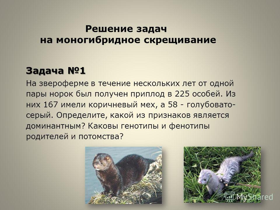 Задача 1 На звероферме в течение нескольких лет от одной пары норок был получен приплод в 225 особей. Из них 167 имели коричневый мех, а 58 - голубовато- серый. Определите, какой из признаков является доминантным? Каковы генотипы и фенотипы родителей
