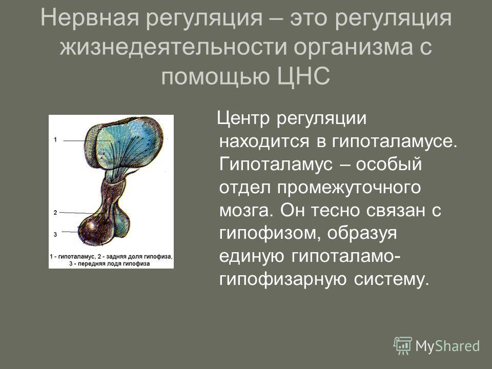 Нервная регуляция – это регуляция жизнедеятельности организма с помощью ЦНС Центр регуляции находится в гипоталамусе. Гипоталамус – особый отдел промежуточного мозга. Он тесно связан с гипофизом, образуя единую гипоталамо- гипофизарную систему.