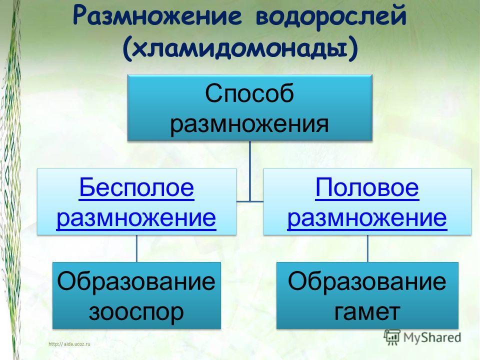 Размножение водорослей (хламидомонады) Способ размножения Бесполое размножение Образование зооспор Половое размножение Образование гамет